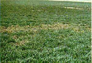 Coltsfoot patches in winter wheat in later flower stage.