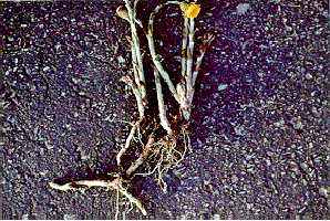 Figure 5. Un photo des rhizomes tiges florifères.