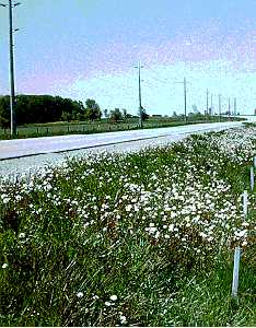 Coltsfoot patches in seed on roadsides.
