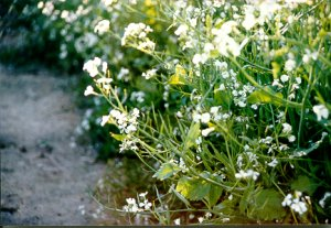Figure 3. Cover crop of oilseed radish