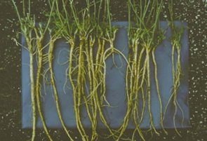 Figure 4. Alfalfa root systems