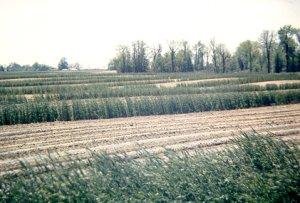 Figure 7. Rye Cover Crops used as wind strips