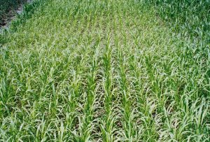 Figure 12. Sorghum and  pearl millet make good emergency forage.