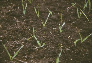 Figure 1 - Oat crop just emerging