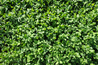 Figure 4: Dense stand red clover.