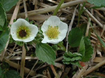 Figure 1: Frost-injured strawberry bloom