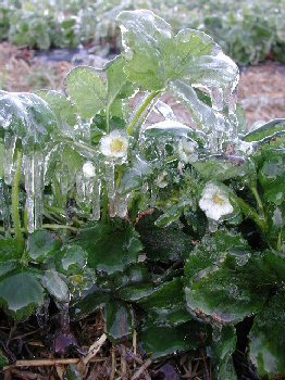 Figure 5: Strawberry bloom coated in clear ice