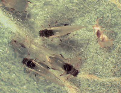 Figure 4-14. Green apple aphid adult