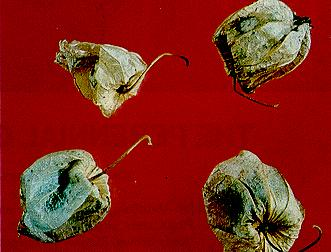 Four papery calyes of clammy ground-cherry, each enclosing one berry.