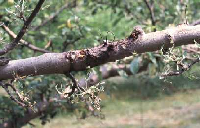 This image shows injury on apples, caused by Roundup.