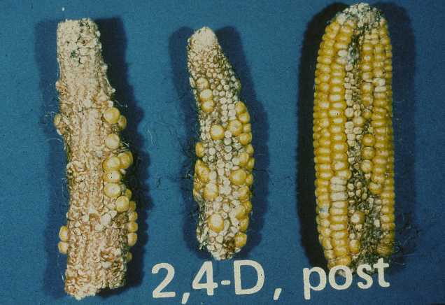 This image shows injury on corn form the use of 2,4-D.