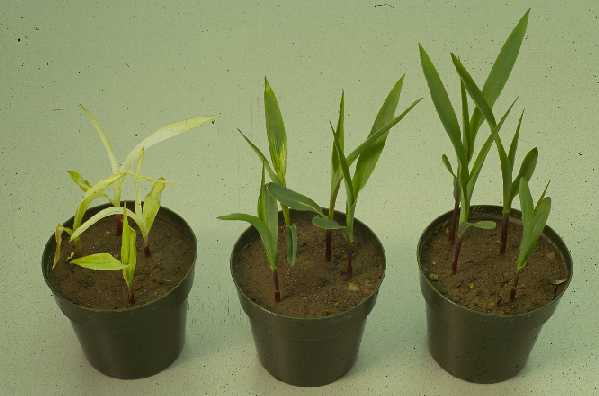 Bleached leaves on corn caused by isoxaflutole at 4x rate (left), normal field (middle) and check - no herbicide (right).