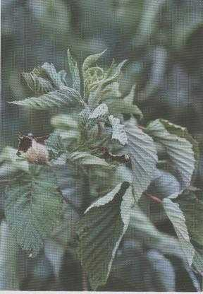 This image shows injury on a raspberry plant, caused by 2,4-D.