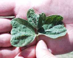 dicamba dommages aux soya