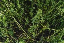 Figure 2: Smooth bedstraw growing in clumps and leaves in a whorl