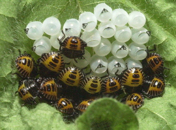 First instar nymphs remain with egg mass.