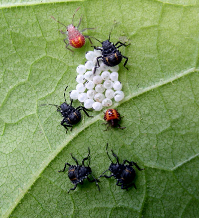 Hatched egg mass with first instar (small red) and second instar (newly moulted red, and black) nymphs