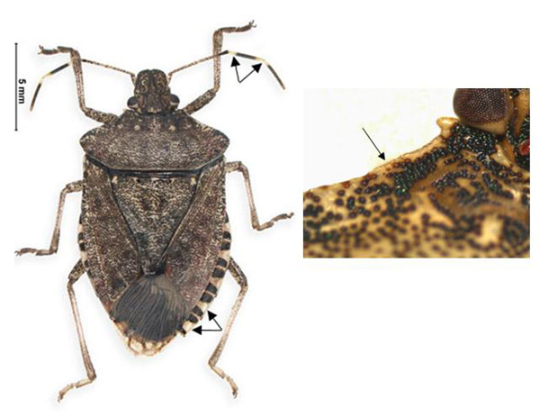 Brown marmorated stink bug (Note smooth-edged pronotum)