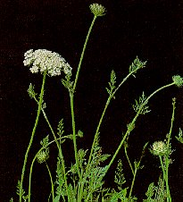 Picture of wild carrot (also known as Queen Anne's-Lace)