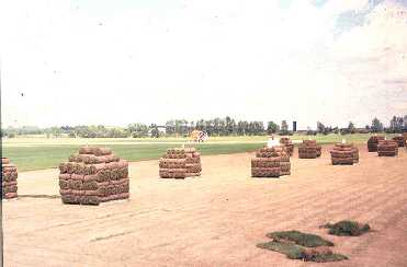 Figure 6. Pallets of sod in field.