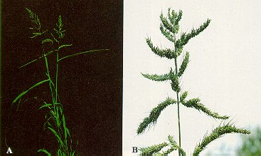 Barnyard grass (A - plants; B - inflorescence with thick, dense branches).
