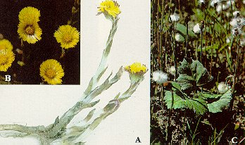 Colt's foot. A. Flowering shoots in early spring. B. Flower heads. C. Flower heads in seed in late spring, with young leaves.