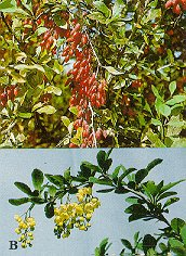 Common barberry (A - spiny branches with clusters of red berries; B - flowering branch).