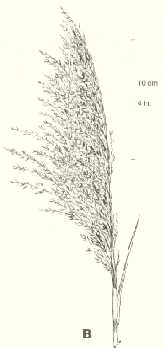 "Common reed. ""Flag-like"" or ""plume-like"" inflorescence."