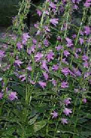 Creeping bellflower. Flowers.