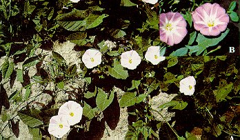 Field bindweed (A - vine-like stems spreading over the ground; B - flowers turn pink with age)
