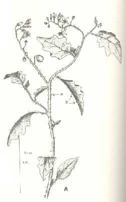 Horse-nettle. A. Top of plant.