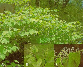 Japanese knotweed (A - plants; B - tips of young shoots in spring; C - flowering branch).