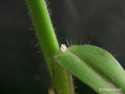 Figure 1: Membranous ligule of large crab grass