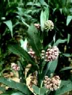 Common milkweed.