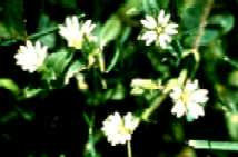 Mouse-eared chickweed.
