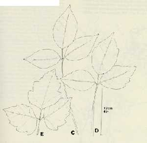 C-E. Variation in margin and lobing of leaflets.