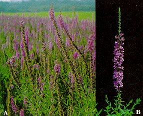 Purple loosestrife (A - flowering spikes; B - a typical strand).