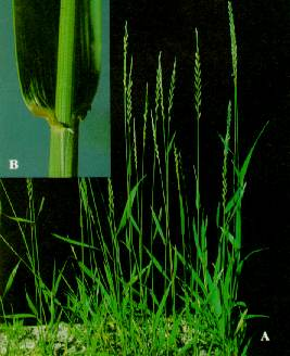 Quack grass (A - plants in head; B - leaf-base showing auricles).