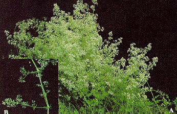 Smooth bedstraw (A - mass of flowering stems; B - portion of a stem showing whorls of leaves and tiny 4-petalled flowers).