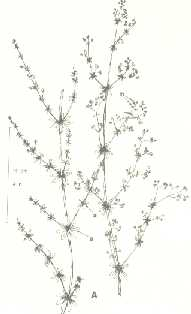 Smooth bedstraw. A. Stem of plant.
