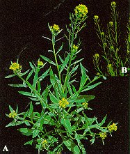 Wormseed mustard. A. plant beginning ot flower. B. elongating inflorescences with seedpods.