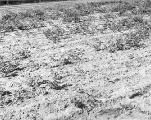 Photo of part of a field of parsnips