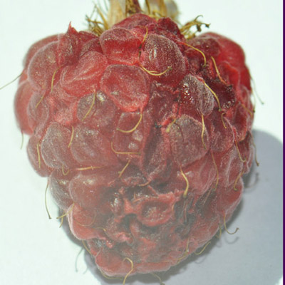 Figure 7: Raspberries show damage quickly, with scarring and collapse appearing as soon as 1-2 days after egg-laying.