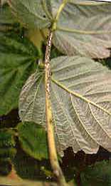 Image of leaf petiole with anthracnose lesions.