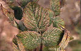Image of leaves with leafspot.