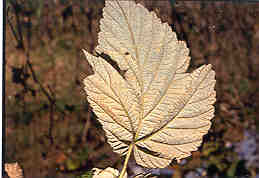 Image of underside of leaf with late leaf rust.