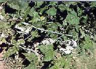 Image of black raspberry canes with Verticillum Wilt.