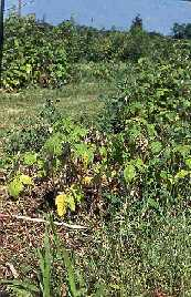 Image of raspberry planting with Phytophthora Root Rot.