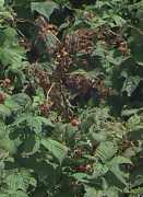 Image of canes in planting with cane blight symptoms.