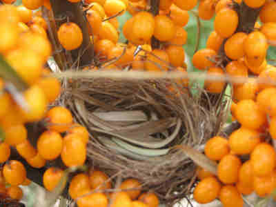 One of many small birds nests found within the Sea buckthorn shrubs
